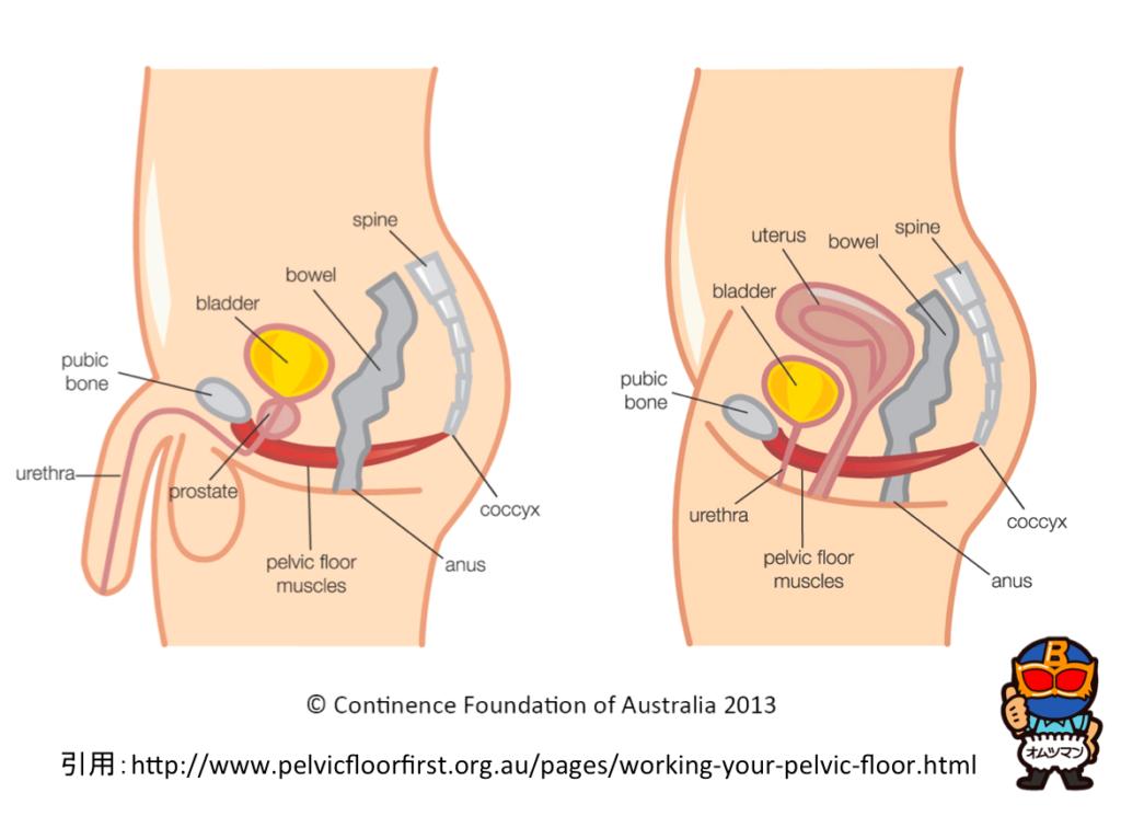 骨盤底筋,鍛える,解剖,肛門,イメージ,筋肉,膀胱,指導