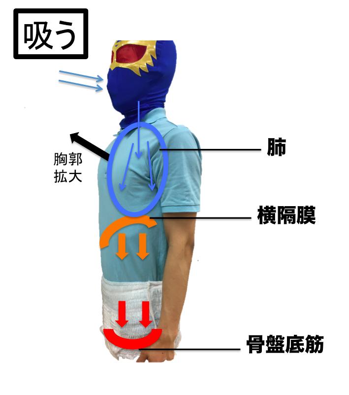 骨盤底筋 横隔膜 連動 呼気